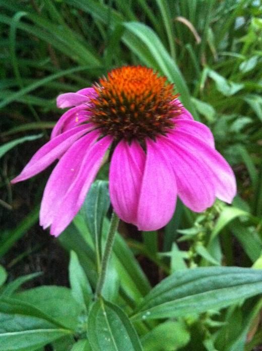 Purple Coneflower / Echinacea (perennial)