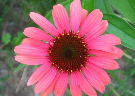Pink Echinacea (perennial)