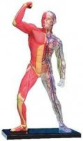Your muscle range and elasticity is increased, allowing you to perform better.