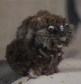 Vyvyan's hamster, SPG