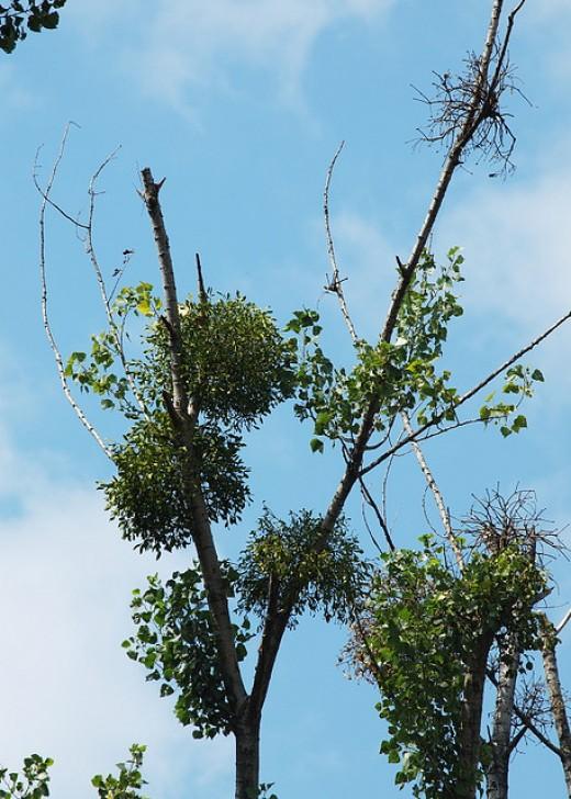 Common Mistletoe overrun a young Birch tree