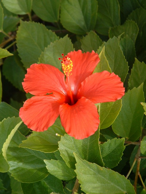 Beautiful flowers such as this hibiscus make strolling through the plaza a tropical experience.