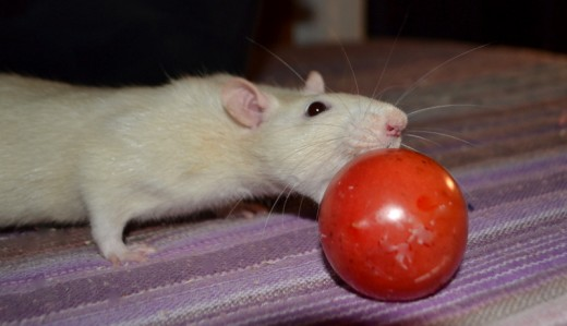 Where do I sign? I believe rats should be able to bowl with their mouths.....