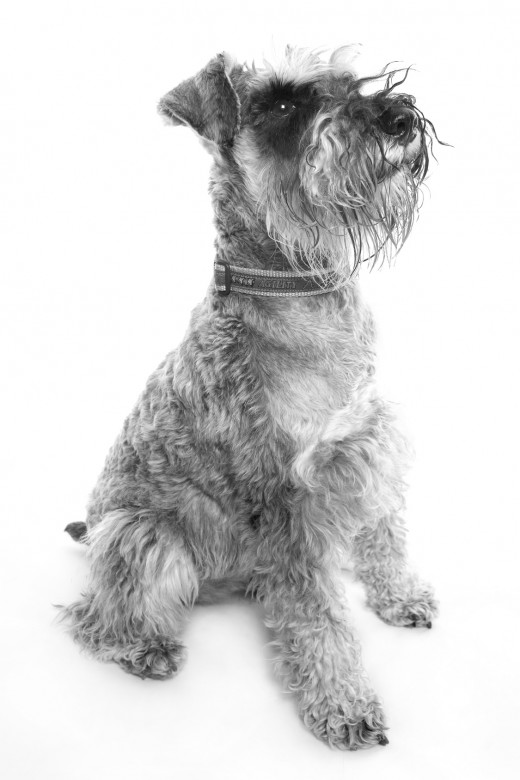 This is the length of fur I like. This Schnauzer has not got the typical line on the side of the body. The #10 blade will cut shorter, but it is a good alround blade.