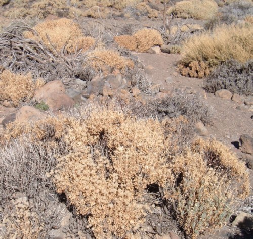 Dead and dying vegetation on Mt Teide. Photo by Steve Andrews