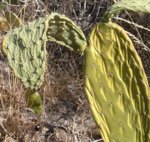 Wilting and shrivelled Prickly Pear cactus in Tamaimo. Photo by Steve Andrews