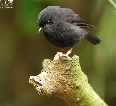 The New Zealand black robin.
