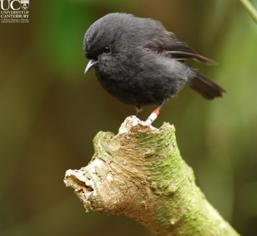 The New Zealand black robin.