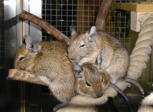 Degu group napping