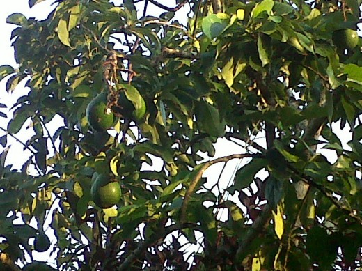 Avocado Tree (Zaboca)
