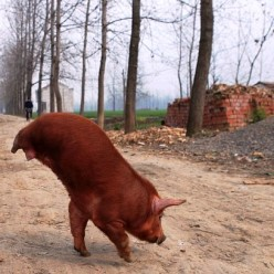 Two-Legged Pigs