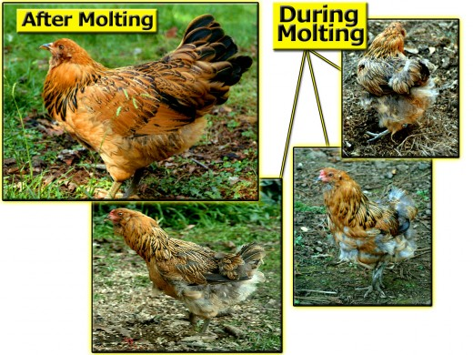 During molting, a hen drops feathers so new plumage can grow in.