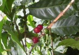 Coffee fruit.
