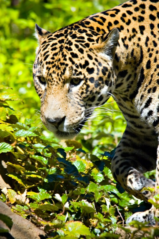 The Range of the Jaguar at the Jacksonville Zoo is an amazing award-winning exhibit.