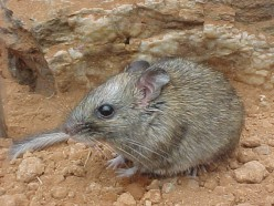 World's Biggest Rat - Largest Rat in the World - the Bosavi Woolly Rat