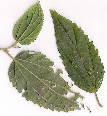 Trema aspera leaves, showing signs of insect damage.