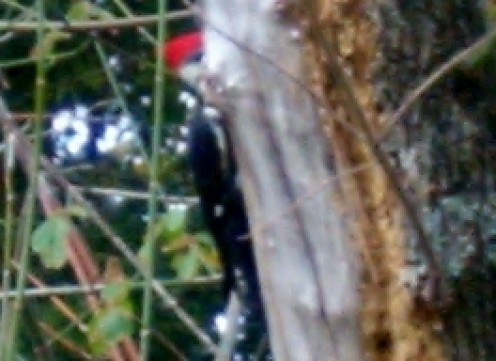 A Lulawissie Ivory Bill Woodpecker on my pecan tree