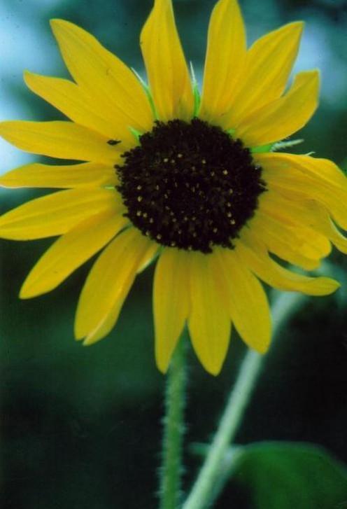 Sunflower, Spring Creek, NM/