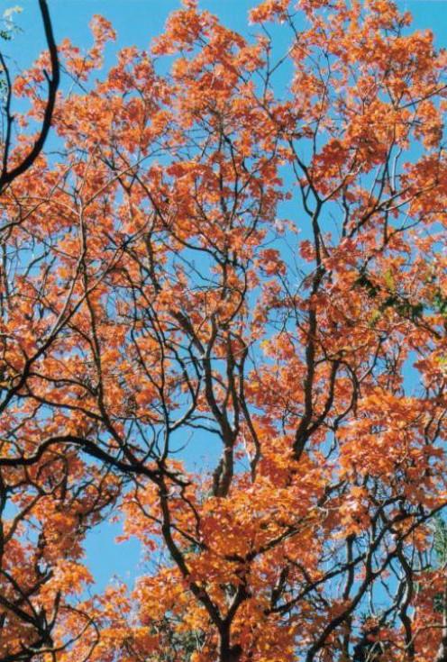 Oak tree, Sacramento Mountains, Linclon National Forest, NM.