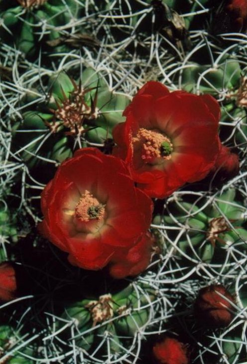 Strawberry cactus bloom, Mojave Desert, CA.