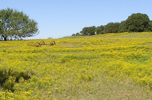 Field of wildlfowers, Texas hill country around Decatur.