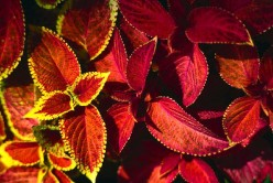 Coleus Add Constant Color To Your Backyard Garden