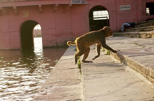 Monkey on Ghat