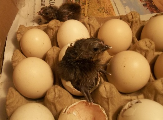 You can do it, said the chick to its sister