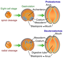 Diagram showing differences in protostome  and deutorostome embryonic development.