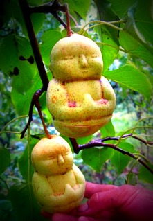 Buddha pears shaped by a plastic mold