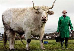 Every bull in the world looks this big to me -- and you're right -- cowardice is a terrible thing!
