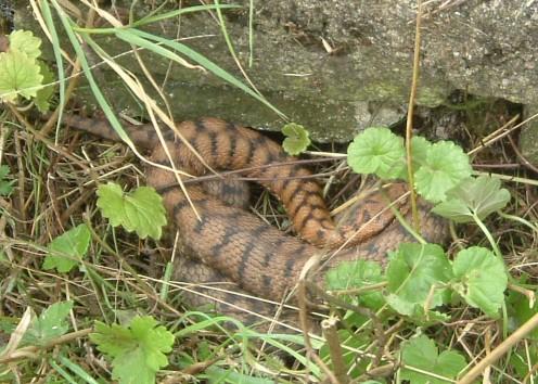 Viper or grass-snake?