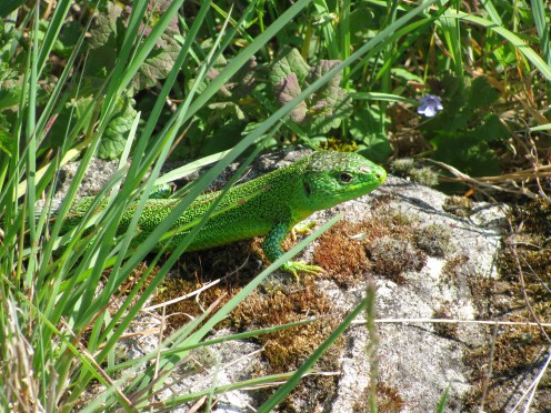 Green lizard camouflage