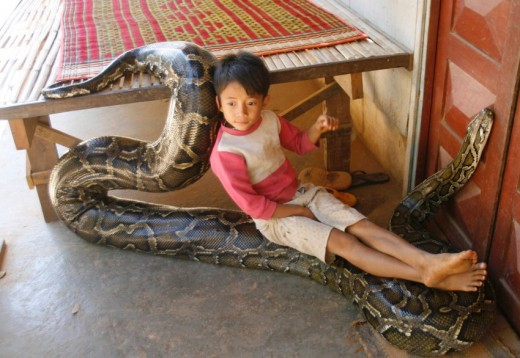 A Burmese python accepting the care and affection given by his young owner.