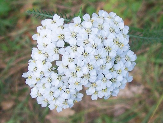 Yarrow blossoms
