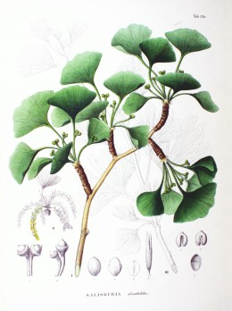 A specific for palpitations and difficulty falling asleep in homeopathic potency when all symptoms match the individual. Ginkgo, oldest living tree species, each tree may live 1000 years.