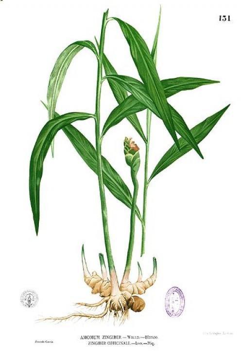 Zingiber Officinale (Garden Ginger)