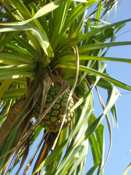 Ancient  Hawaiians used the leaves of the Hala Tree to make mats, hats and bags, among other things.  To this day you can see Hala leaf crafts for sale.  The fruit is edible but not pleasant - famine food.