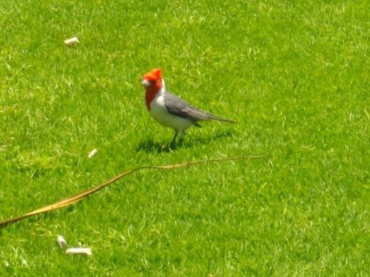 Red-crested Cardinals were introduced to Hawaii from South America in the 1920s.