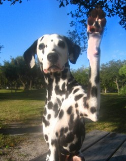 High five! A polite trick any dog can learn!