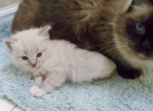 Hello Ragdoll kitty!