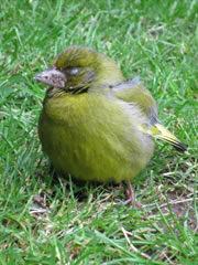 This poor Greenfinch has trichomonosis, the parasite closes off the throat, causing the Bird to starve.