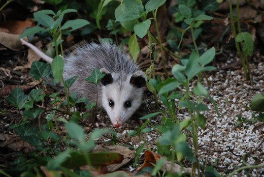 Cute Baby Opossum