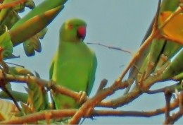 The rose ringed parakeet