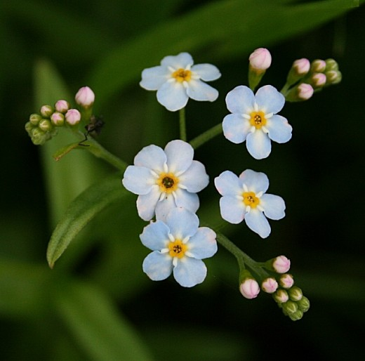 Forget-me-nots - Enjoy the flowers as you remember yourself and implement your plan for success.