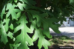 an example of white oak leaves. note the rounded ends.
