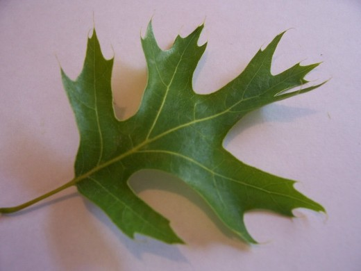 an example of a red oak leaf. note the pointed ends.