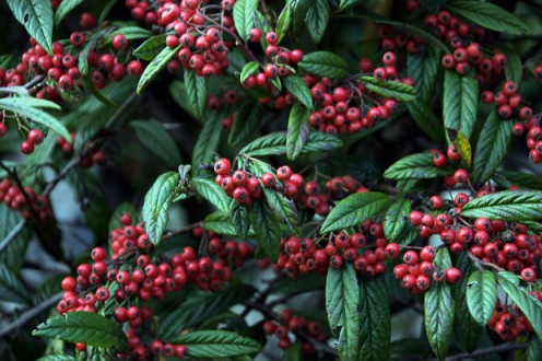 Cotoneaster - The berries of this plant are dangerous.