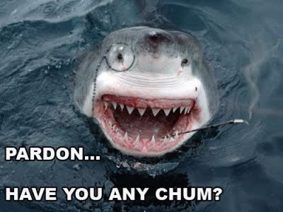 great white shark looking for chum