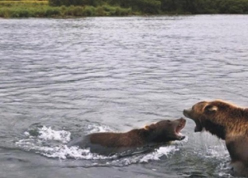 - Grizzly Bears Fight To Fish -